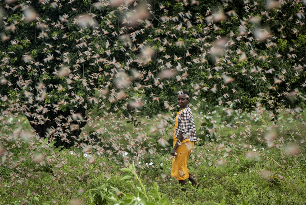 A farmer walks through swarms of  locusts feeding on her crops in Katitika, Kenya, on Friday. Hundreds of millions of  the pests are destroying farmland and threatening an already vulnerable region.