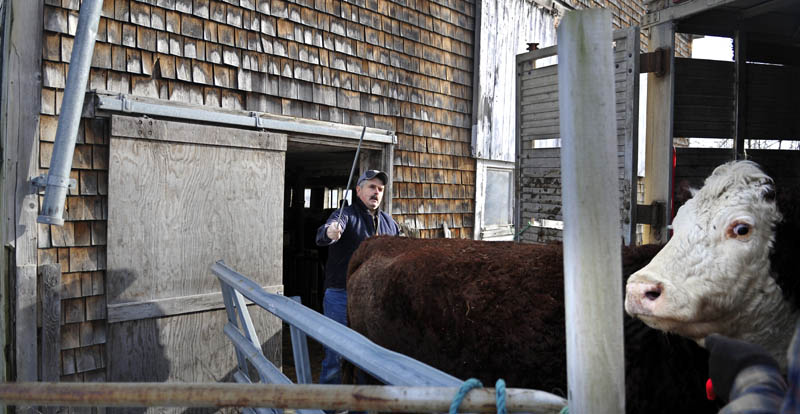 John Hatch drives a Hereford cow into a trailer owned by Sonny Black, a cattle broker who sells animals at auctions around New England. Hatch raises grass fed beef at Breezemore Acres farm in Litchfield.