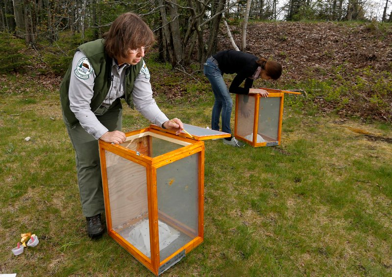 Charlene Donahue, a forest entomologist with the state of Maine, and UMass-Amherst ecology technician Natashia Manyak release parasitic flies at Two Lights State Park in Cape Elizabeth Thursday in an effort to help control the winter moth population.