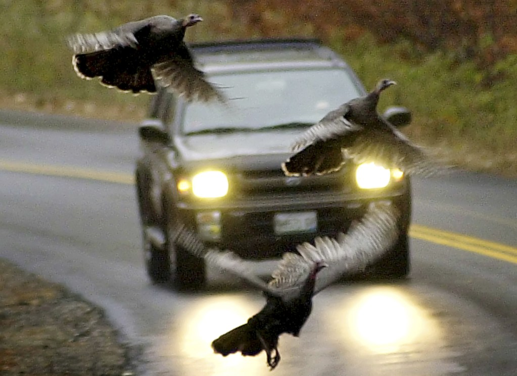 In this 2002 photo, a trio of turkeys takes to the air to avoid an oncoming motorist in Freeport. The state's wild turkey population has grown to unprecedented levels since restoration efforts began in the 1990s, creating a bounty for bird hunters, but a nuisance for farmers, apple growers and gardeners.