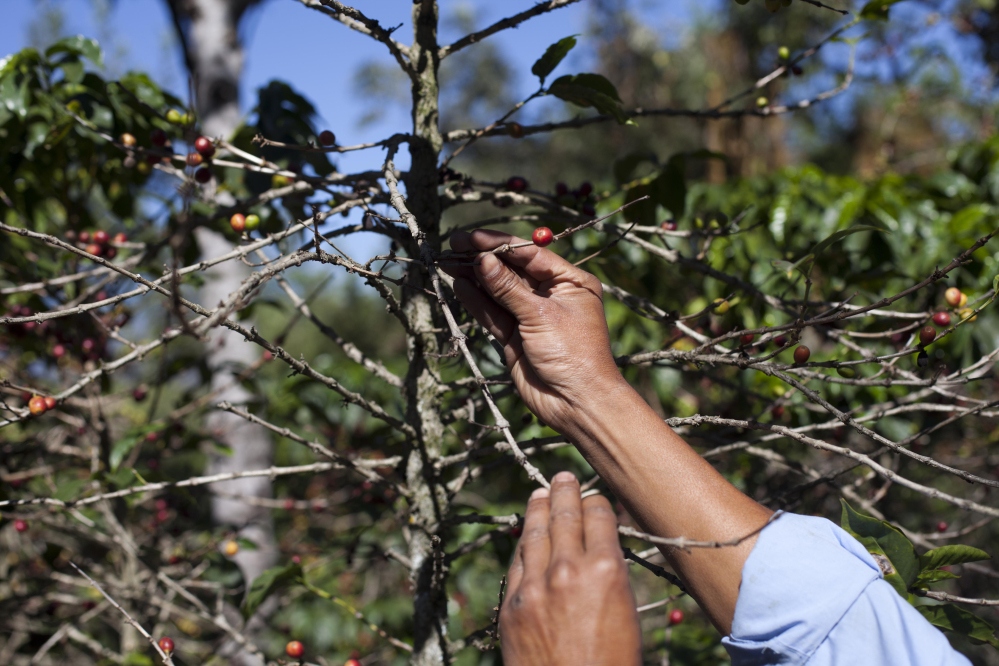 """Small coffee producer Hector Perez shows coffee beans damaged by the coffee rust fungus in San Gaspar Vivar, Guatemala, last year. The fungus is known as """"roya"""" in Central America."""