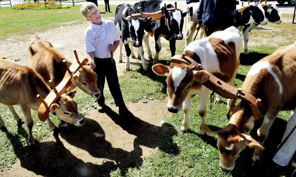 Tanner Bubier is surrounded by calves that competed in the 4H Working Steer division at the Farmington Fair last year. The fair opens Sunday.