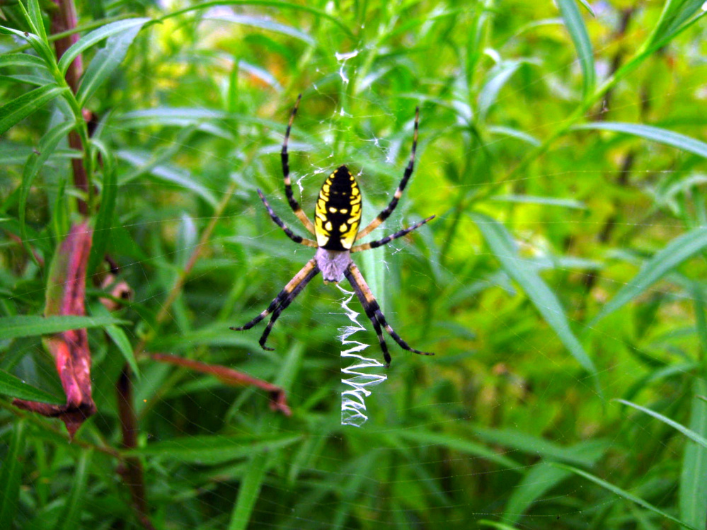 A female black and yellow garden spider (Argiope aurantia) sits in her web with a linear stabilimentum in the Unity park in August 2010.