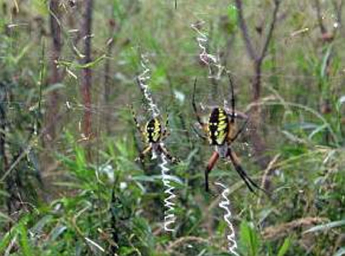 Two female black and yellow garden spiders sit in their webs, with linear stabilimenta, in the Unity park in 2012.