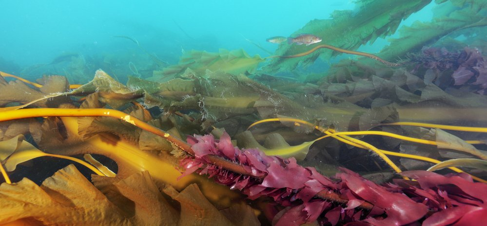 Sea urchin populations have rebounded and are systematically clear-cutting kelp forests.
