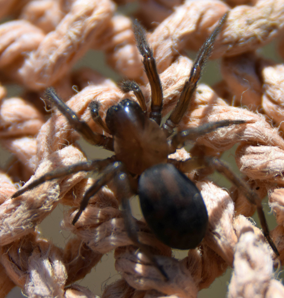 A young Amaurobius ferox, or hackledmesh weaver spider, in the sun in Troy.