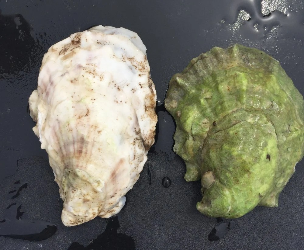 Though these oysters are the same species, the one on the right grew on the riverbed, while the other was suspended in gear. The difference of just a few feet at low tide greatly affects their color, texture and taste.