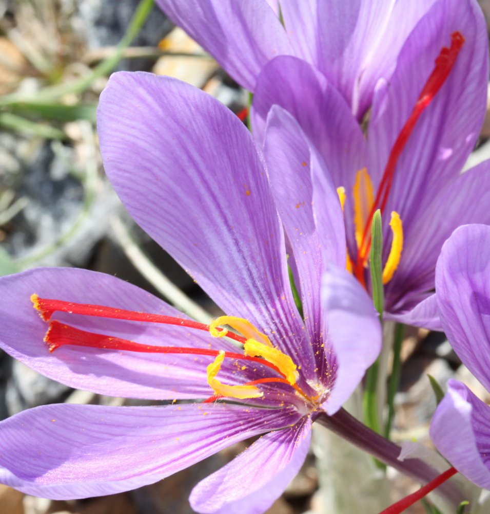 Saffron, the world's most expensive spice, is growing in Penobscot County. It is harvested from crocuses.