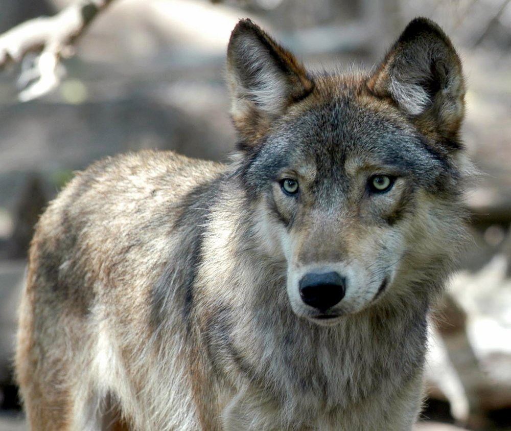Gray wolves were almost exterminated in the Upper Midwest before they got federal protection.