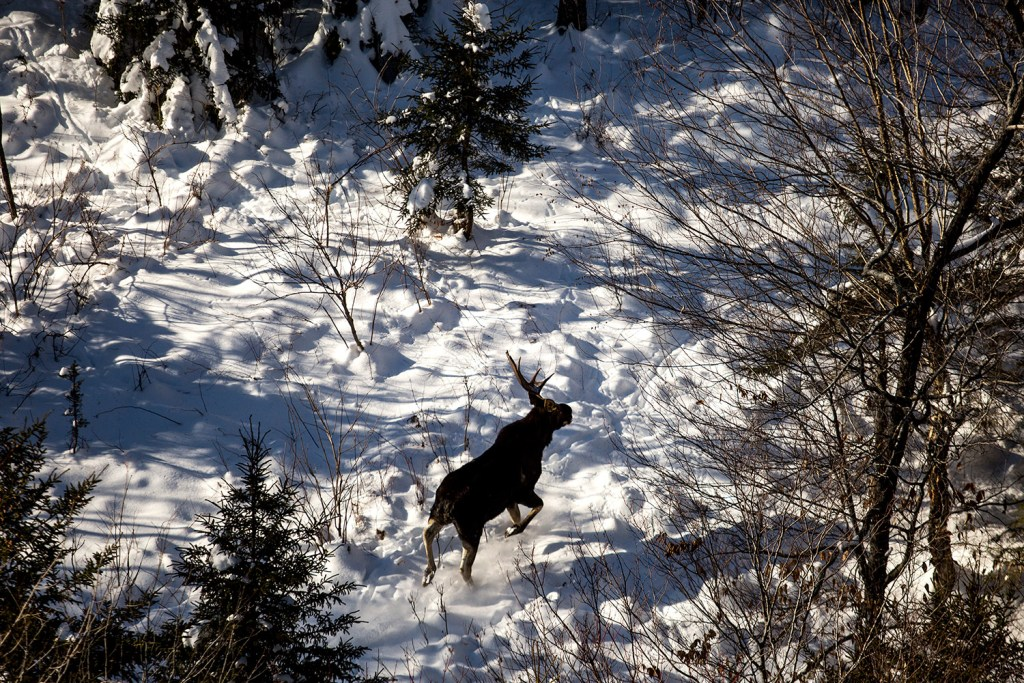A young bull moose with half of its antlers shed runs through a clearing in the woods north of Moosehead Lake in this January 2016 file photograph. The moose was spotted on a moose collaring expedition with biologist Lee Kanter of the Maine Department of Inland Fisheries and Wildlife.