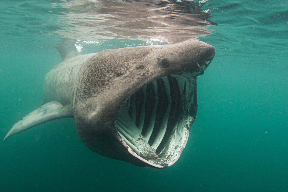 A basking shark. It is the second-largest fish on the planet.