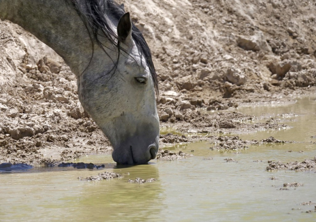 A wild horse drinks from a watering hole outside Salt Lake City. Even rain brings no relief, as it runs right off.