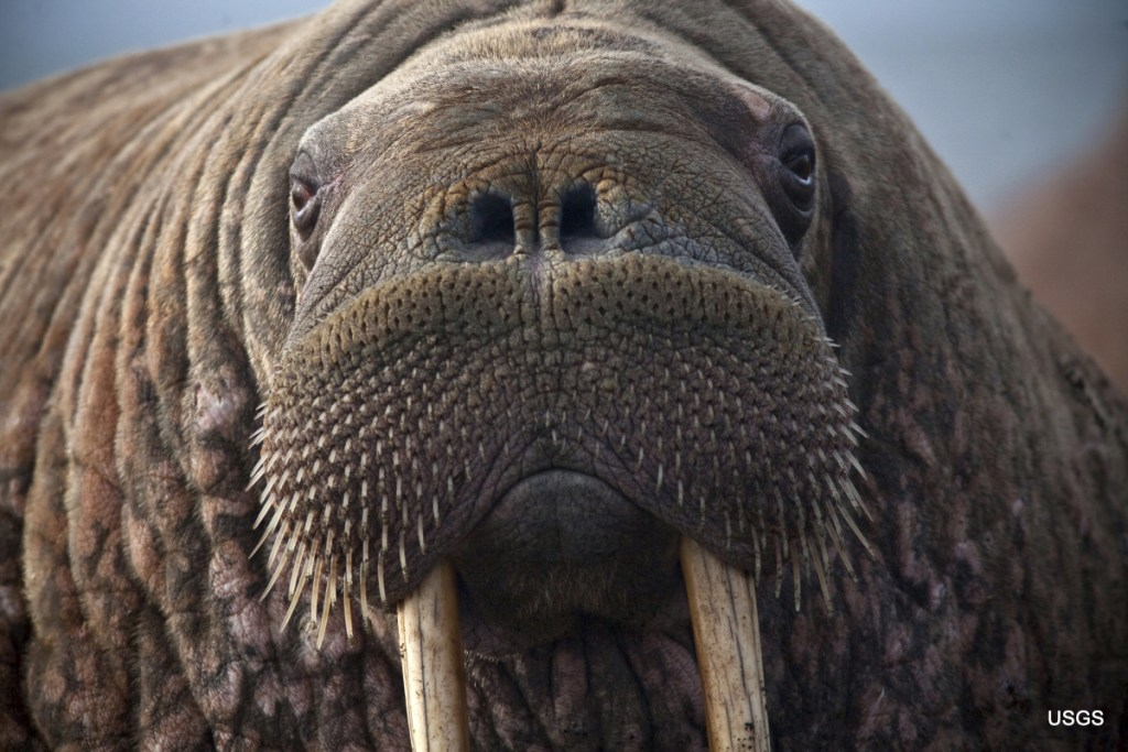 Female Pacific walruses use sea ice for giving birth, nursing and resting between dives for food. In recent years, however, by late August, sea ice has receded beyond the shallow continental shelf, putting walruses and calves at risk.