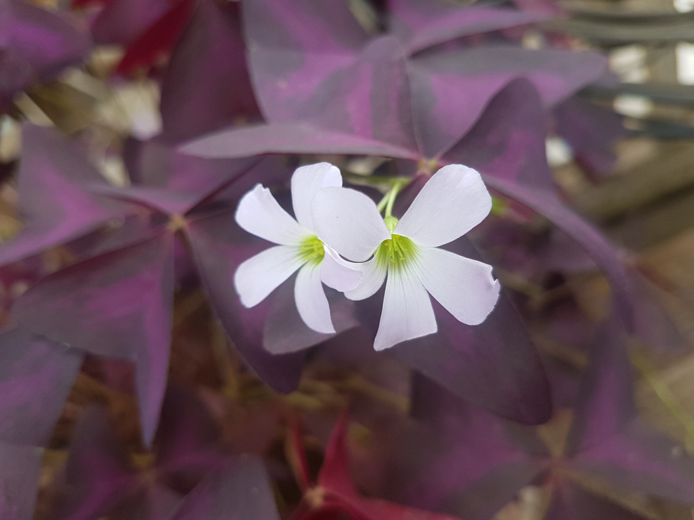 Oxalis is sometimes called the shamrock because of the shape of its leaves.