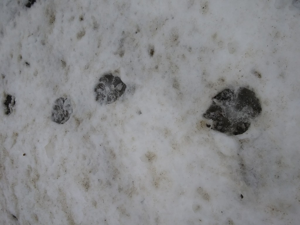 Tracks left along the side of Route 9 in Troy by a coyote.