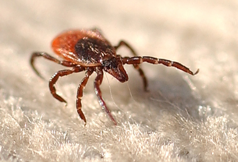 A closeup of a female deer tick, which can transmit Lyme disease.