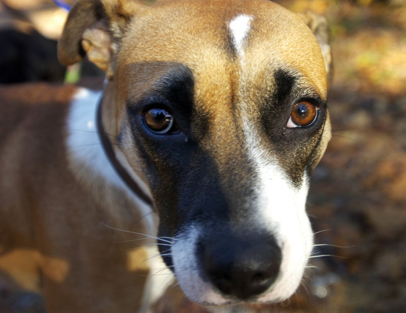 Pit bulls and mixed breeds, like this Hurricane Katrina survivor, Mazey, have been successfully adopted by Maine families.