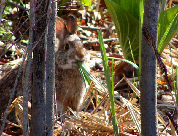 Cape Elizabeth inn joins effort to save the cottontail