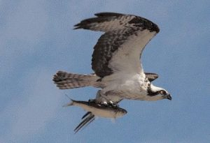 MAY 12, 2011: An osprey flies away with an unlucky fish, snatched from the mouth of the Kennebec River on a sunny afternoon.