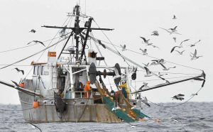 GULLS FOLLOW A SHRIMP FISHING BOAT as crewmen haul in their catch in the Gulf of Maine earlier this month.