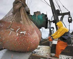 JAMES RICH maneuvers a net full of northern shrimp caught in the Gulf of Maine.