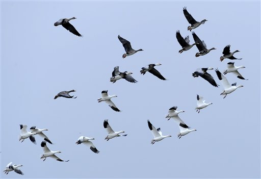 A flock of geese fly over Mad Island, Texas, recently. In a typical winter, the Texas Gulf Coast is packed with tens of thousands of birds – songbirds, waterfowl, catbirds, gnatcatchers, warblers and other migrants. But this year, an annual count done just before Christmas found the population had dropped steeply.