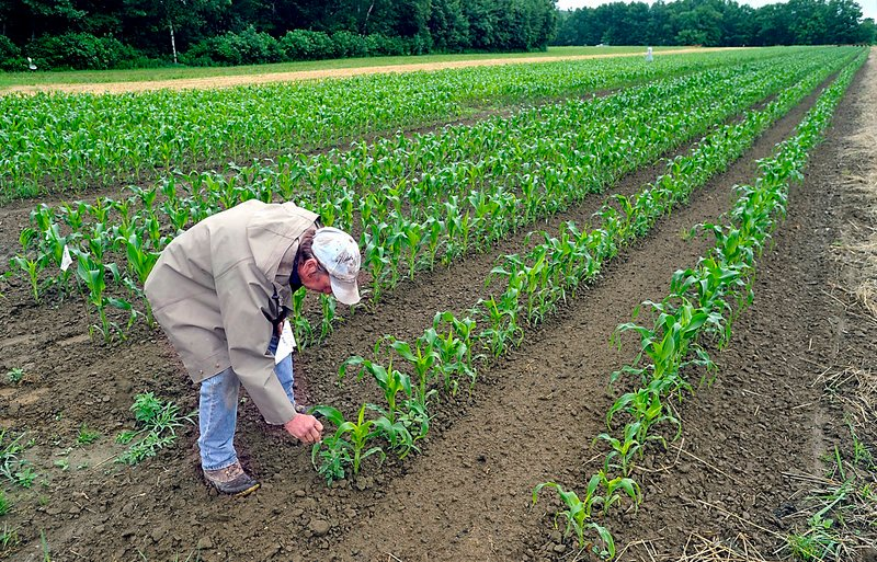 Rob Johanson checks on his new field of organic sweet corn at Goranson Farm in Dresden recently. Johanson predicted that the corn would be knee-high by the Fourth of July.