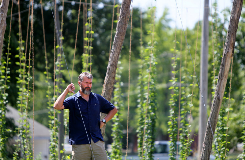 """Matt McCarroll, a chemistry professor at Southern Illinois University, checks out his hops plants near Murphysboro, Ill. """"The real challenge is mildew and pests,"""" he says."""