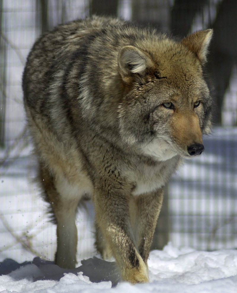 A male Eastern coyote patrols its pen at a wildlife rehabilitation center in northern Maine in 2003. The increase in the state's deer harvest between 2011 and 2012 should prompt the re-evaluation of the idea that coyotes need to be killed in order to sustain the size of the deer herd, a reader says.