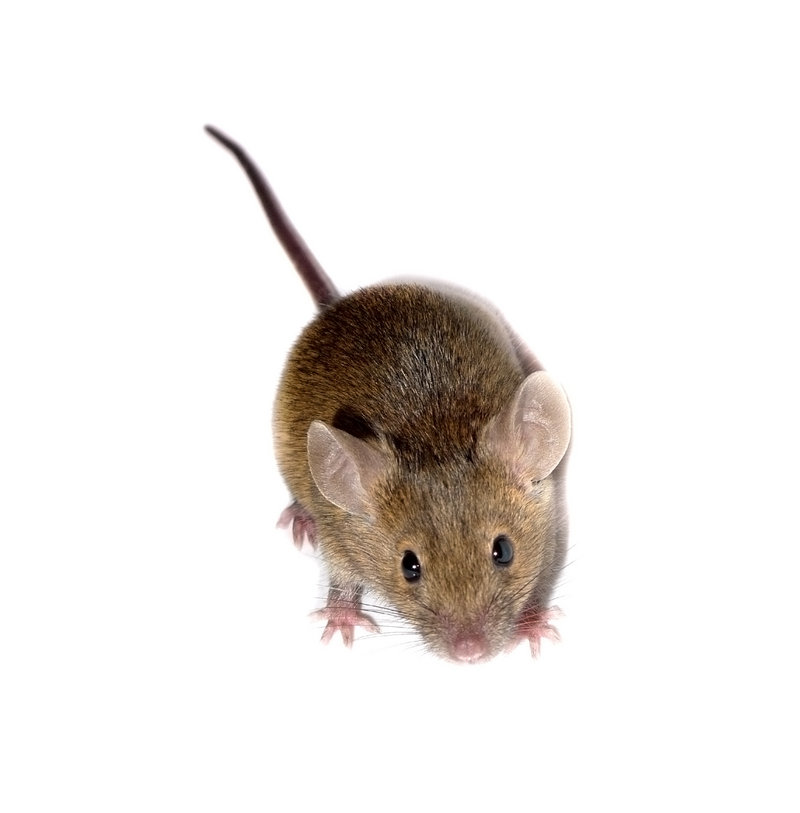 Shoo it yourself: When mice invade, you can repel - Portland