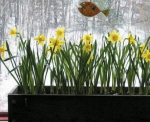 SOME DAFFODILS bloom in late winter in Henry Homeyer's window. By preparing several boxes of bulbs in the fall, gardeners can enjoy flowers that are forced to bloom in March.