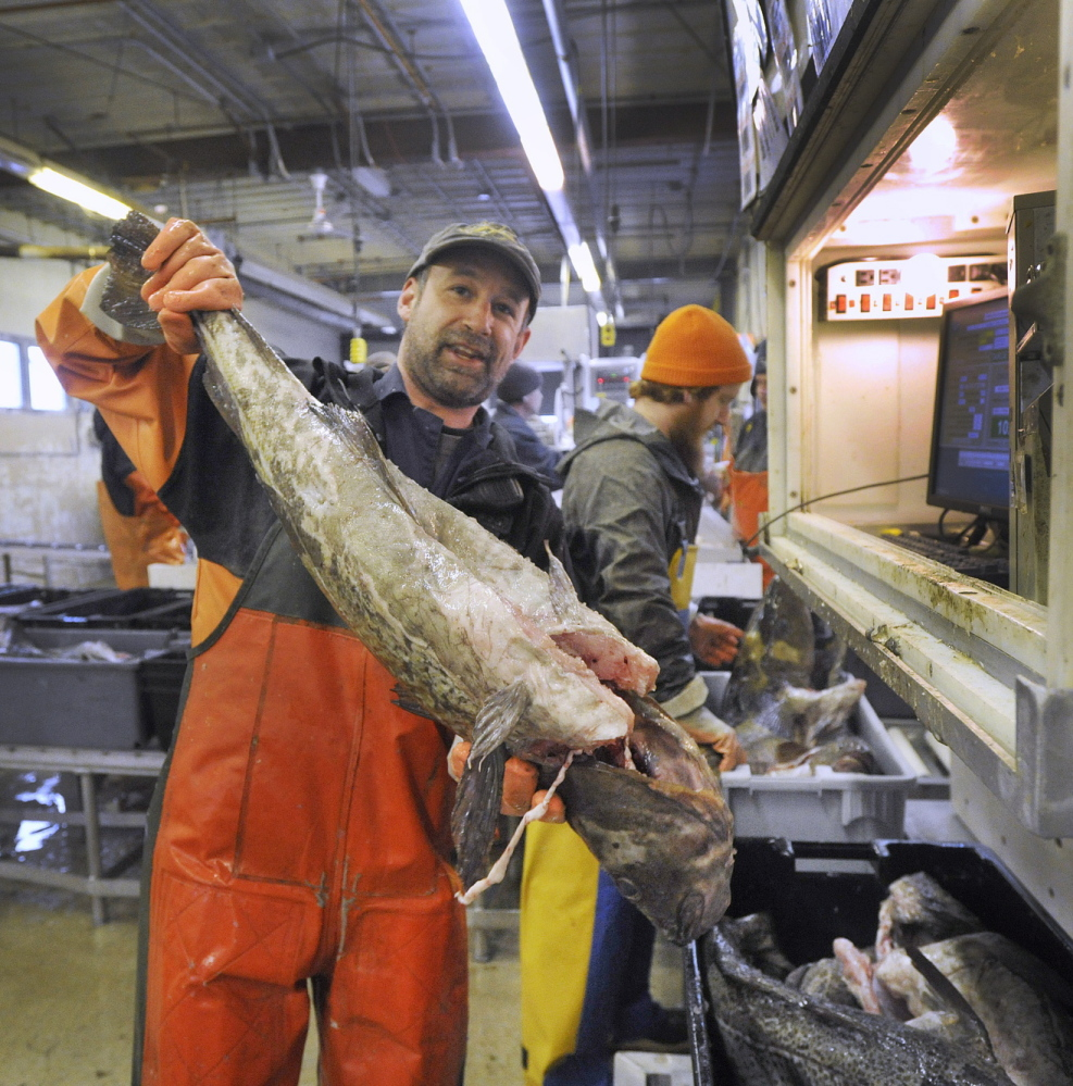 """Fish sorter Nate Dunford at work at the Portland Fish Exchange on Commercial Street last month. Dunford sorts fish by species and size as fishing boats unload at the Exchange. Holding this large cod, Dunford said, """"You don't see many like this anymore."""""""