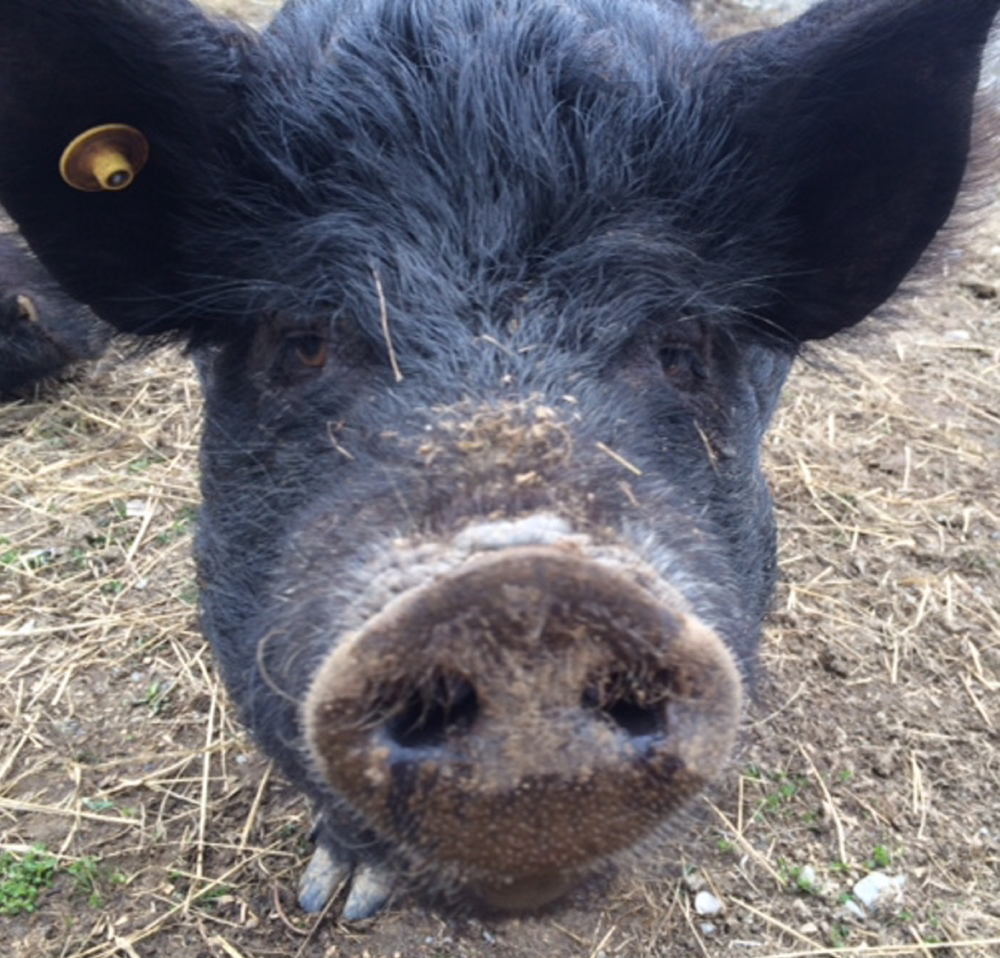 Luna, an American guinea hog, is set to have piglets June 8. The hogs can weigh up to 200 pounds.