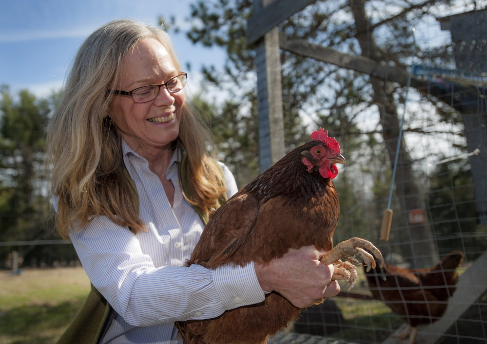 Rhode Island Red hens are in good hands with Anne Lichtenwalner, veterinarian and director of the University of Maine Animal Health Laboratory.