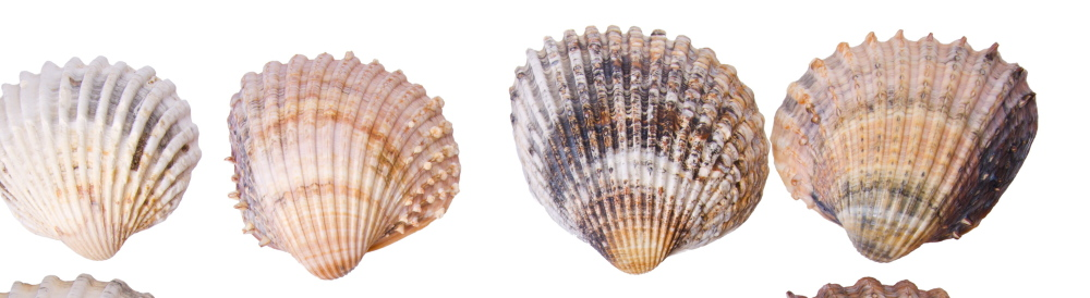 Researchers say that grooming the sand with heavy machinery is more to blame for the decline in seashells than individual beachcombers.