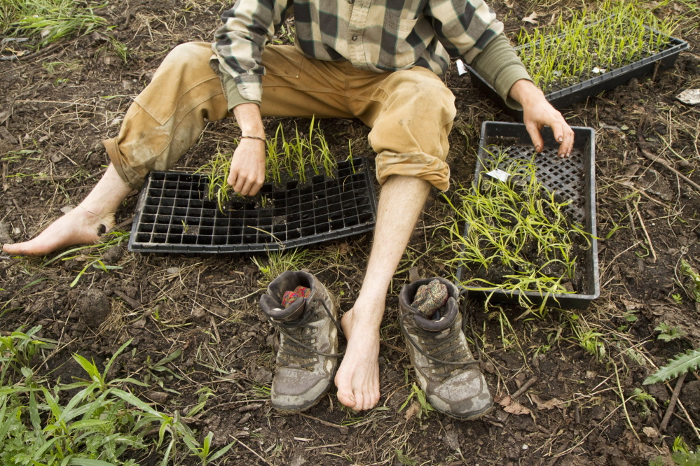 Ben Rooney, co-owner of Wild Folk Farm in Benton, sorts rice seedlings before planting a small rice paddy last month.  Carl D. Walsh/Staff Photographer