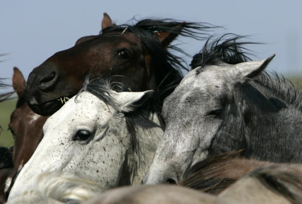 Advocates say wild horses are on the verge of going extinct in North America for the second time in 13,000 years and deserve protection under the Endangered Species Act. Their petition cites research concluding that genus Equus originated in North America 3 million to 4 million years ago.