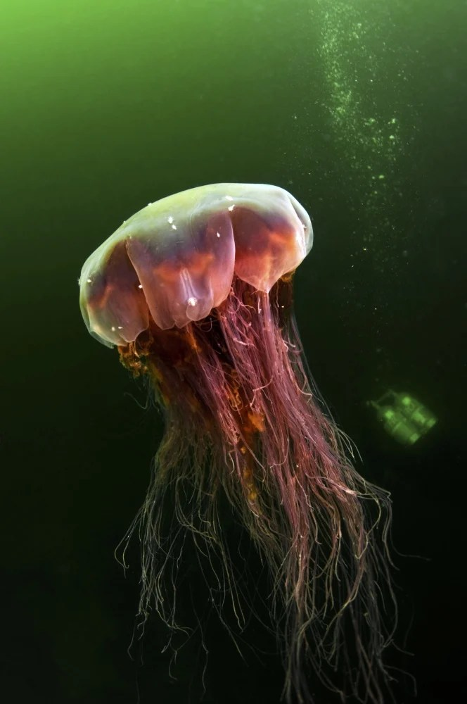 As jellyfish come in waves off Maine coast, questions follow