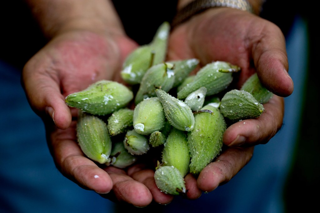 Mike McNally holds milkweed pods he gathered near his home in Brunswick. Gabe Souza/Staff Photographer