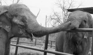 OPAL, AN ASIAN ELEPHANT that arrived at the Endangered Ark Foundation this week, greeted Margaret, a member of the herd already living there.