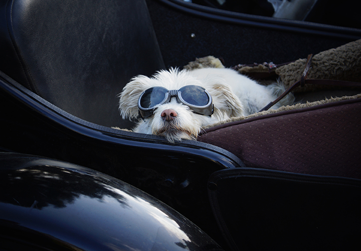 Dixie rides in a sidecar in Visalia, Calif., in this photo provided by filmmaker Eric Ristau.