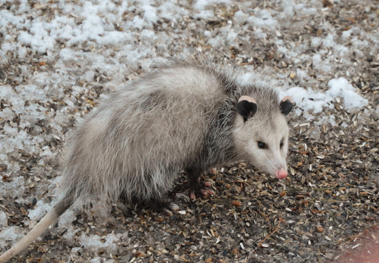 Harsh winter taking a toll on you? Be glad you're not an opossum