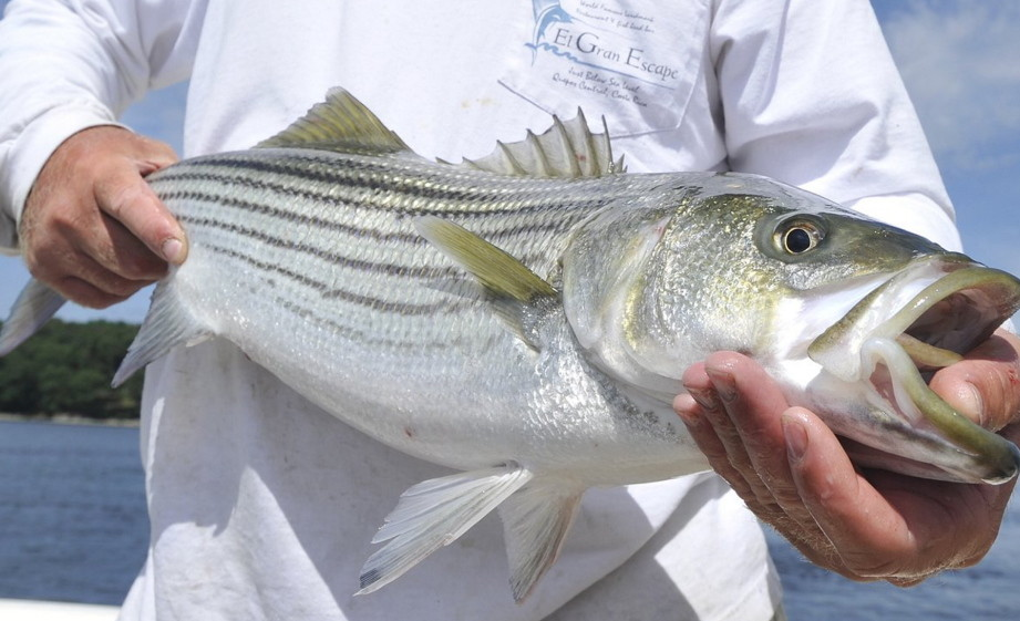 Striper fishermen to get new bag limit - Portland Press Herald