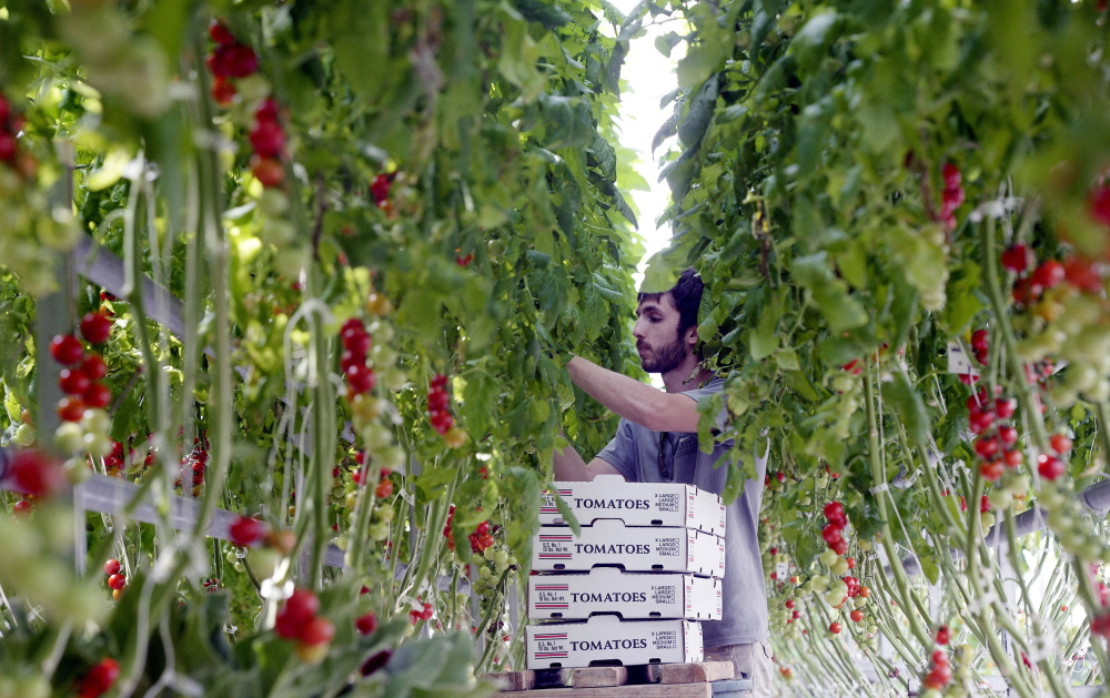 PORTLAND, ME - APRIL 24: Nicholas Satmary picks cherry tomatoes at Olivia's Garden's in New Gloucester Friday, April 24, 2015. (Photo by Shawn Patrick Ouellette/Staff Photographer)