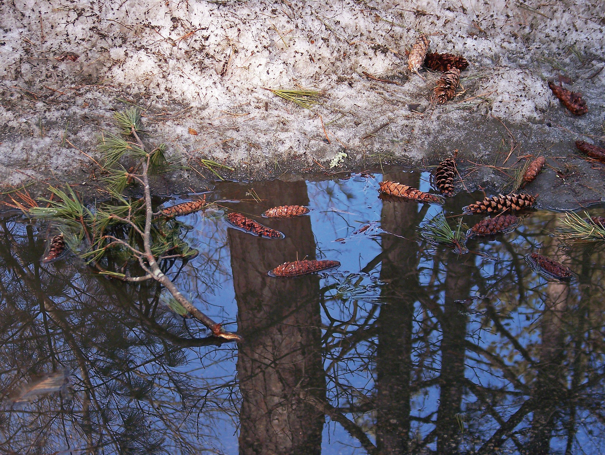 Pinecones and the reflections of trees are seen recently on Sand Pond Road in Sanford.