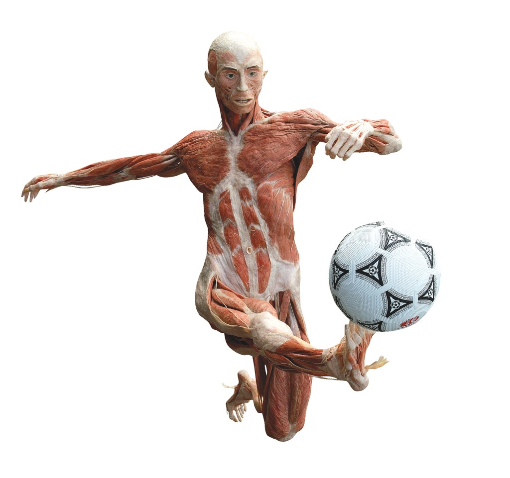 """""""The Soccer Player"""": one of the figures that will be on display when """"Body Worlds"""" opens Sept. 4 on Commercial Street. © Gunther von Hagens' BODY WORLDS, Institute for Plastination, Heidelberg, Germany, www.bodyworlds.com. All rights reserved."""