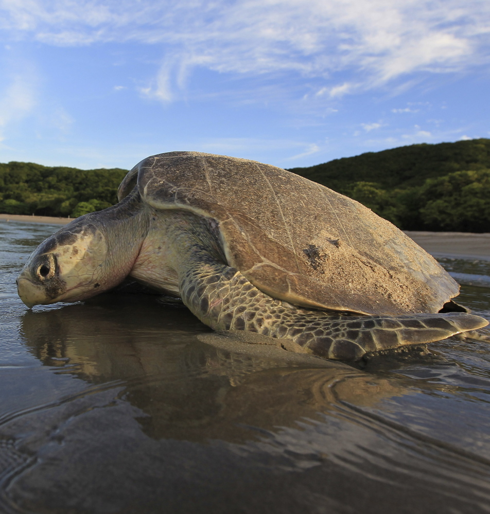 A study estimates 52 percent of sea turtles worldwide have eaten some plastic debris during their lifetimes.