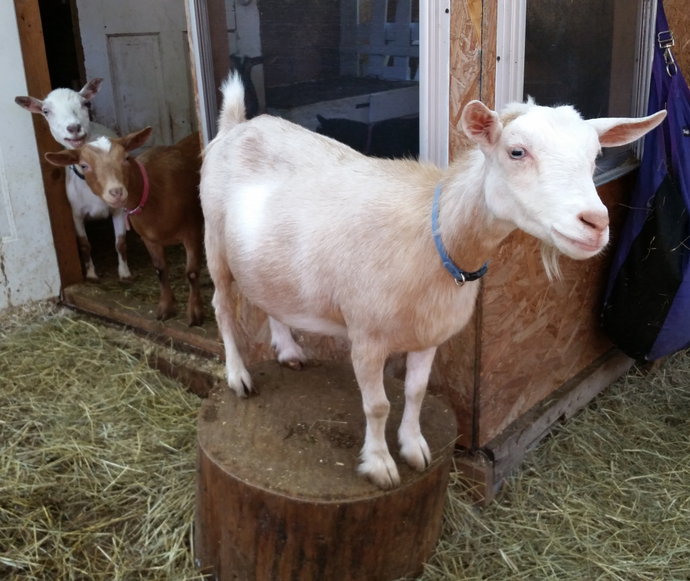 Stelli stands on a stump outside her little goat house with her herdmates, Angel and Evie looking on.
