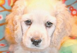 AN 8-WEEK-OLD COCKERPOO puppy stolen from Mainely Puppies in Oxford on Saturday was recovered from a Bowdoin home Monday and returned to its owner.