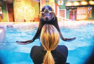 TRAINER CATRINA BLOOMQUIST works with Nav, an 11-year-old rescued California sea lion, as part of a new exhibit opening at the Georgia Aquarium. The aquarium is in the midst of celebrating its tenth anniversary, and as part of the festivities, patrons will be introduced to the newest faces in Atlanta, a group of rescued California sea lions.
